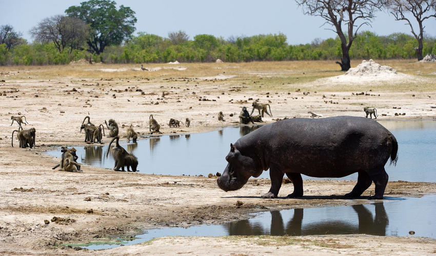 Wildlife such as hippo and baboon congregate around the waterholes