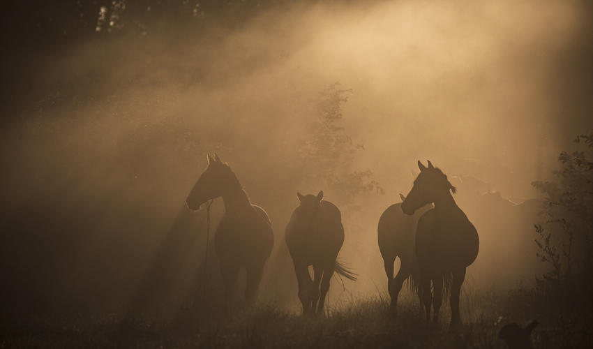 Horses in the morning light