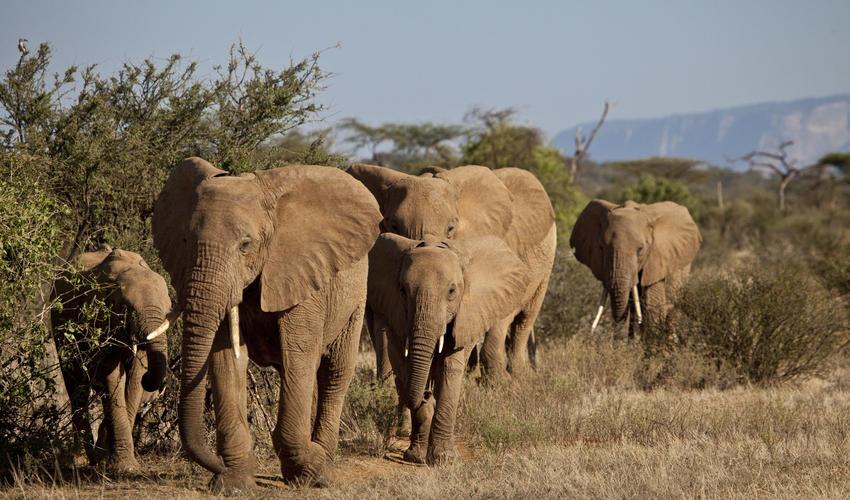 A herd of Elephants in the Samburu Reserve