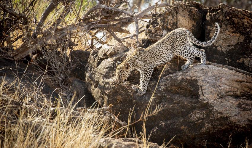Leopard in the Samburu Reserve