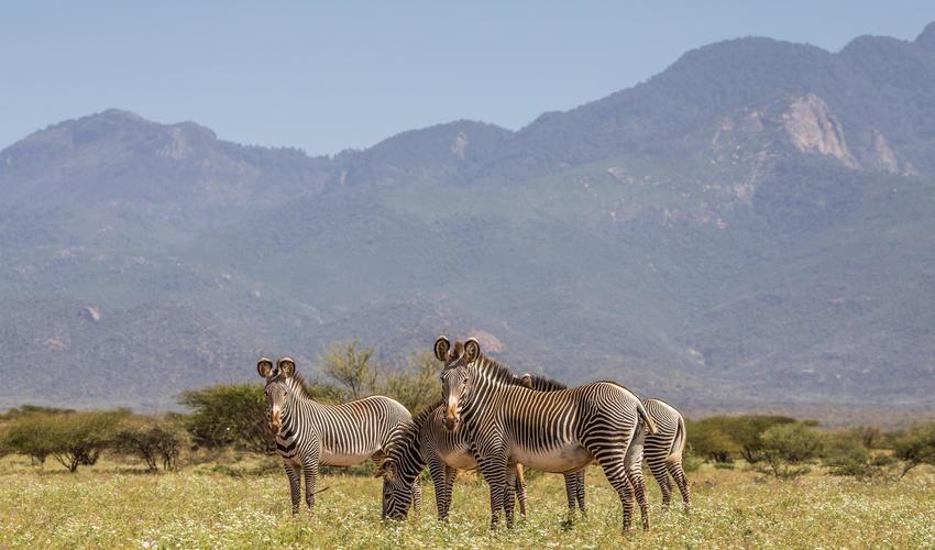 Grevy's Zebra in the reserve