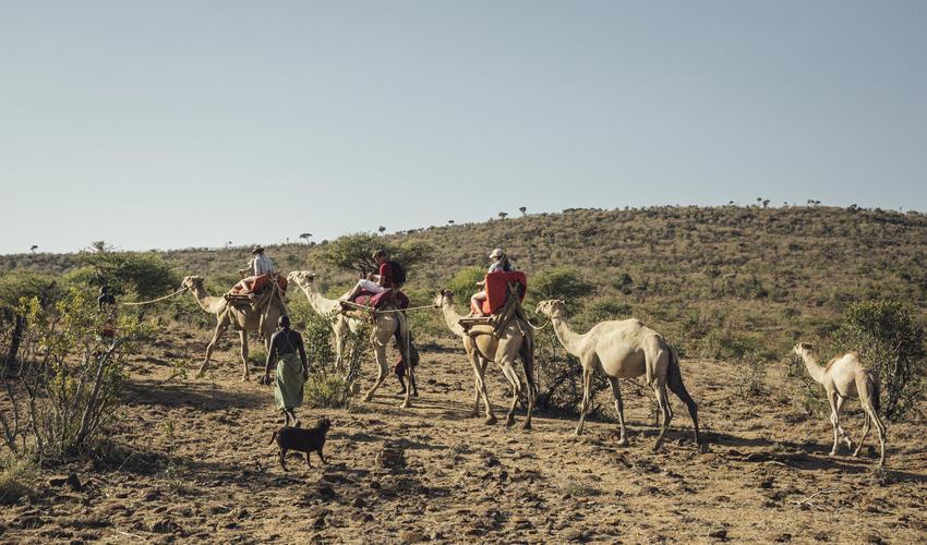 Camel Walk / Ol Malo Nomad