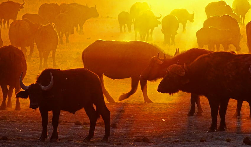 A buffalo herd at sunset