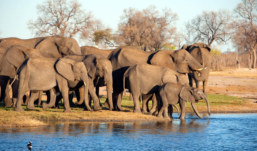 A herd of elephant visit a waterhole to drink