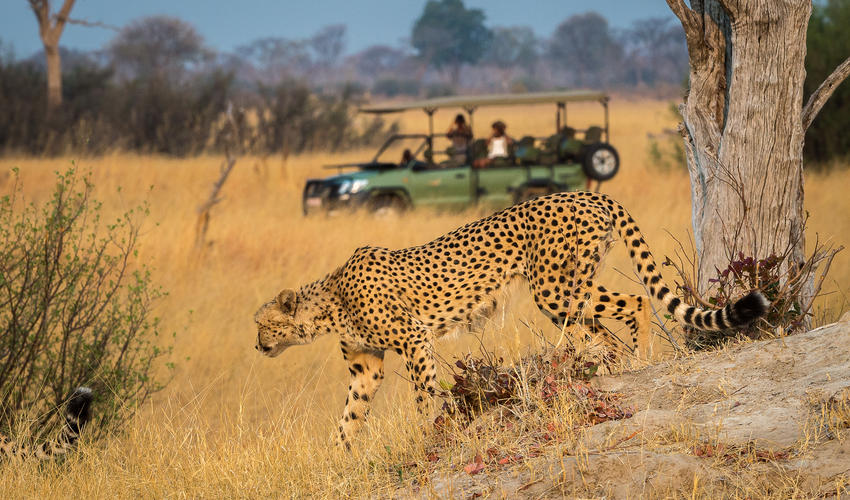 Cheetah seen from a game drive