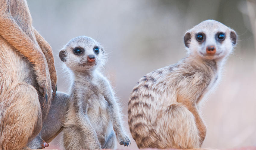 Join a group of habituated meerkats as they emerge from their burrows