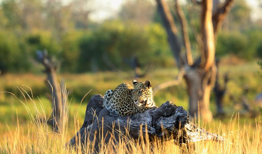 Leopard during game drive