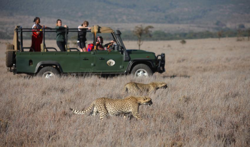 Lewa Wildlife Conservancy is home to a population of cheetah, the fastest animal on the planet, and a stay at Sirikoi Lodge means that you have high chances of seeing this athletic cat in action.