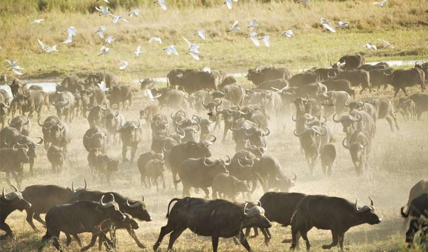 Herd of buffaloes in the bush