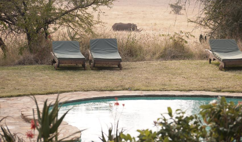 White rhino passing swimming pool