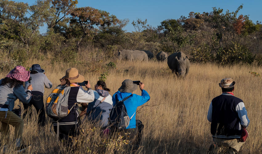 Guests approach the white rhino on foot accompanied by qualified guides