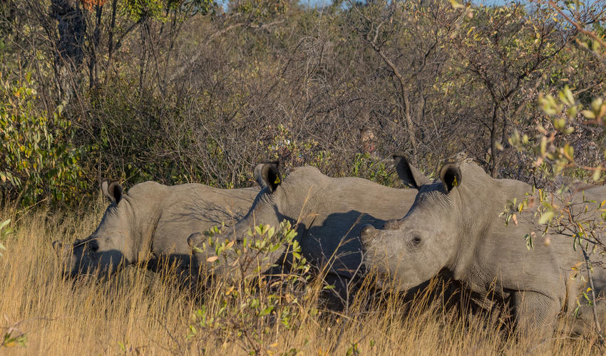 Matobo Hills has one of the highest concentrations of white rhino in Zimbabwe