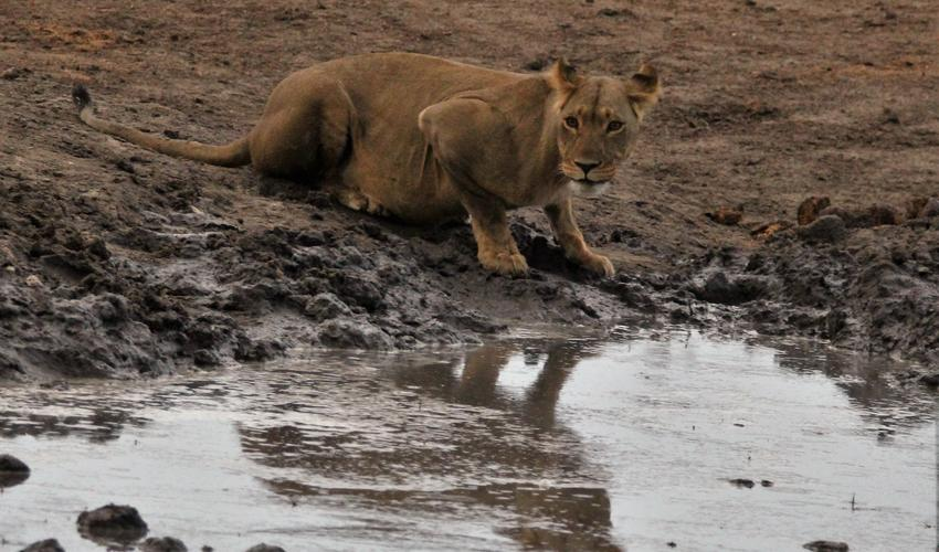 Lioness drinking viewed from Room Private deck