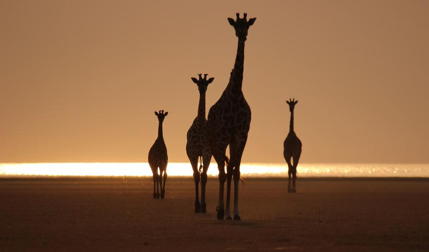 Giraffes on the shores of Lake Manyara