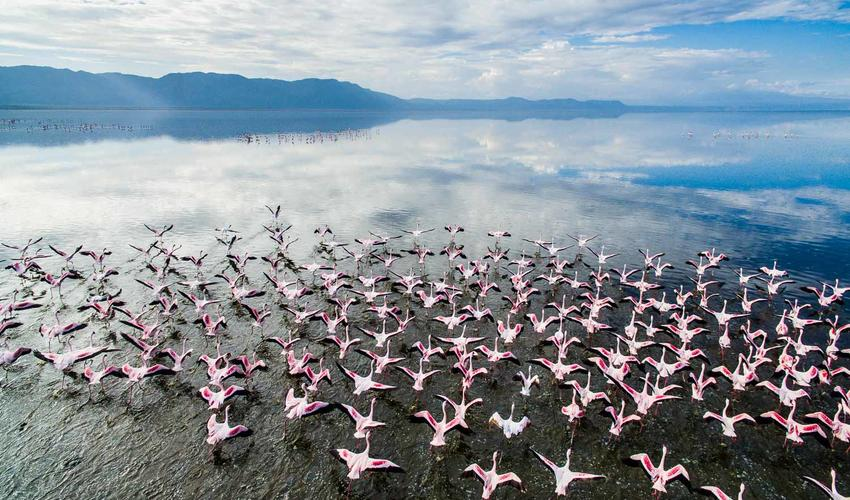 Flamingo's in flight