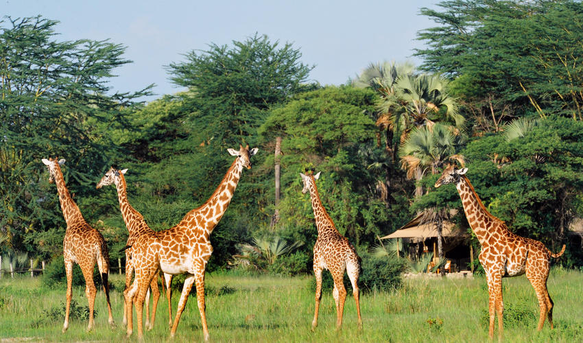 Giraffes from the Lodge viewing deck