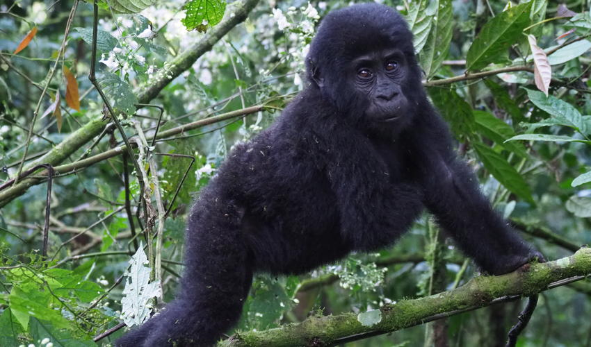2 minutes away from the Gorilla tracking starting point