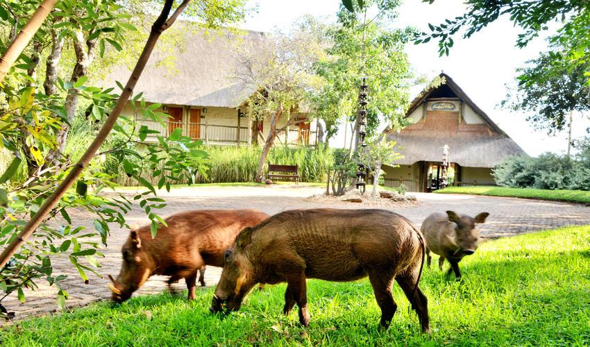 Friendly warthogs outside entrance to Victoria Falls Safari Club