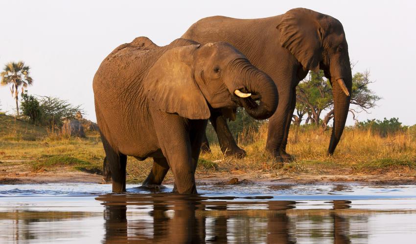 Elephants Crossing the Selinda Spillway
