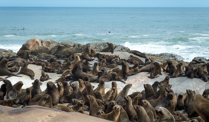 Seal colony on the Atlantic ocean