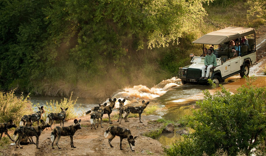 African wild dogs during the gamedrive