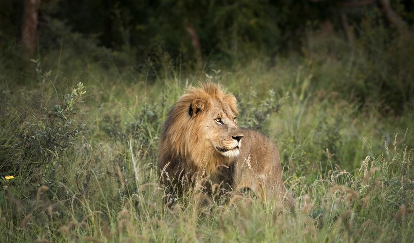 Beautiful male lion of our resident pride