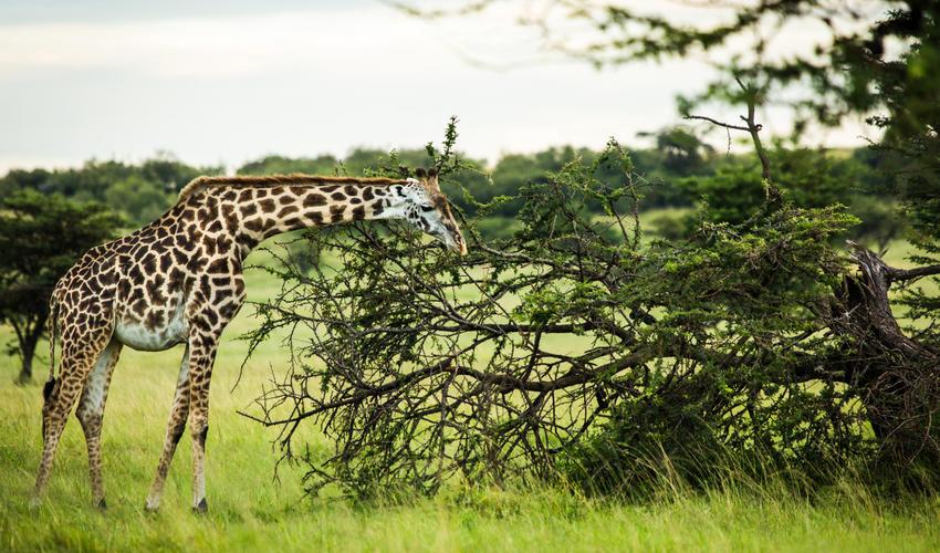 Giraffe Grazing Near Mara Expedition Camp