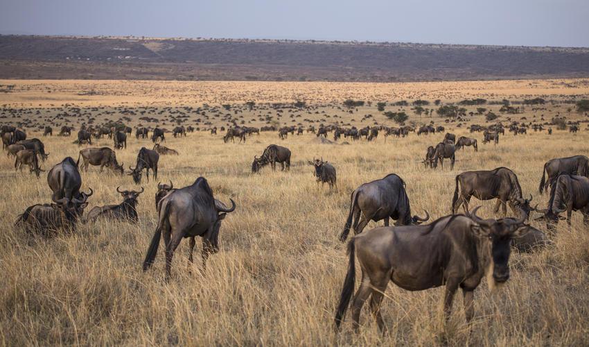 Wildebeest During the Migration