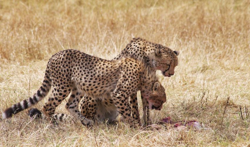 Coupons cheetah deals