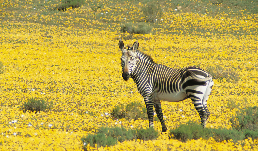 150 species of bird and 35 species of mammals (several of which are listed on the IUCN and Red Data list) make Bushmans Kloof their home. Gemsbok, Bontebok, Cape Mountain Zebra, Eland, Black Wildebeest and Springbok roam free in the reserve.
