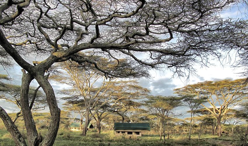 Tent under Tortilis trees