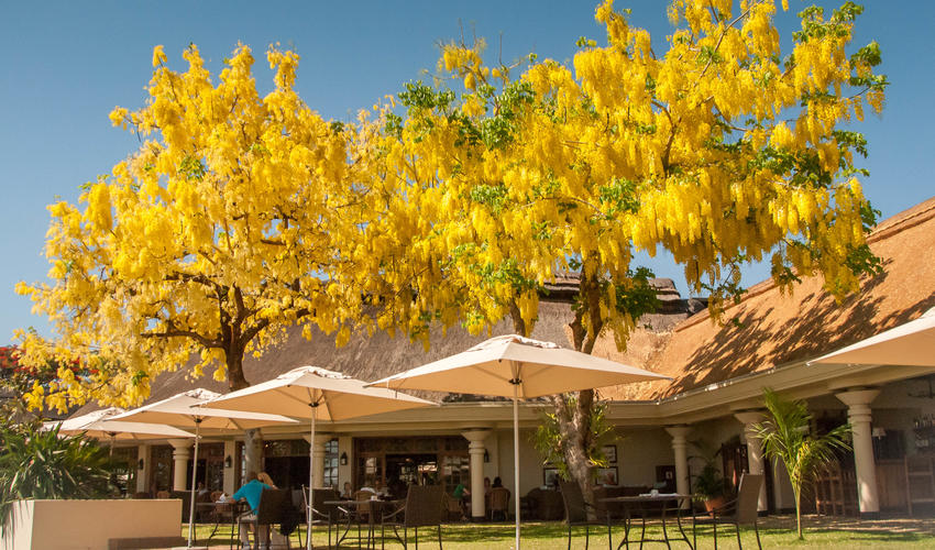 Palm Restaurant Ilala Lodge - with Indian Laburnum Tree in flower