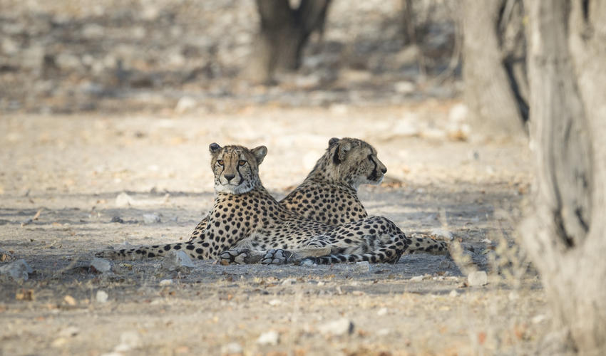 Rare sight - Wildlife experience on the private Ongava Game Reserve