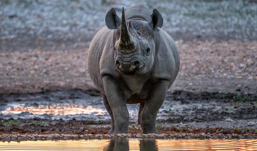 Black Rhino by the waterhole