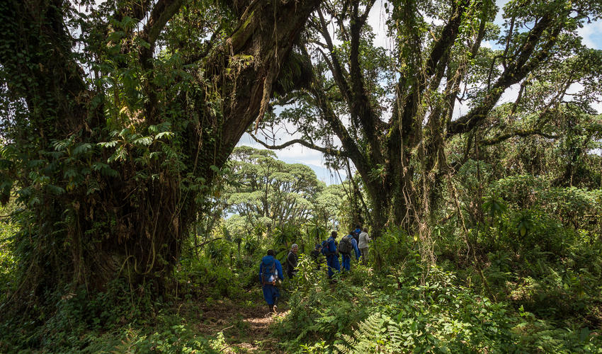 The trail to Dian Fossey's tomb takes trekkers through impressive rainforest vegetation