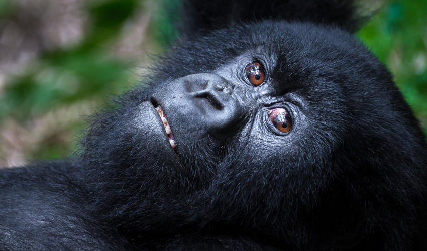 Although strong and powerful, mountain gorillas are generally gentle and shy