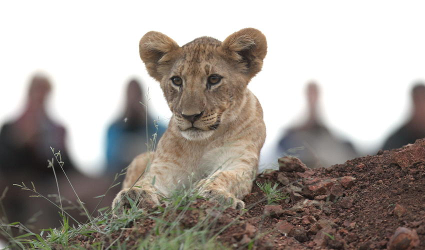 Lion Cub spotted on Game Drive