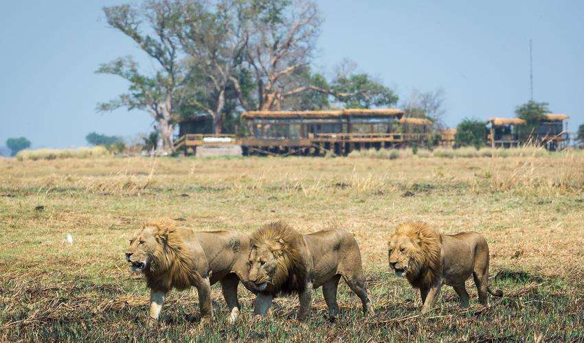 Lion passing Shumba