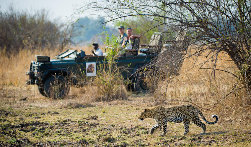 Leopard Sighting on a Lion Camp Game Drive