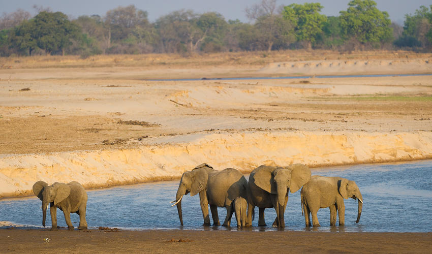 Herd of Elephants by the Luangwa River
