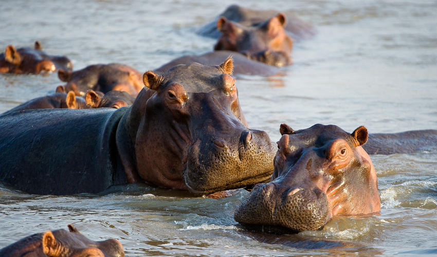 Pod of Hippos in the Luangwa River