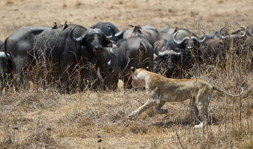 Lion Hunting Buffalo on Wafwa in front of Lion Camp