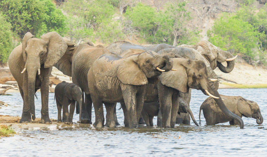 Elephant sighting on the Chobe River while on a river safari