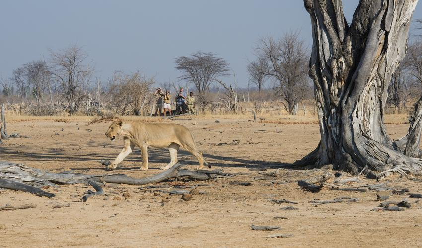 South Luangwa is known for its incredible walking safaris
