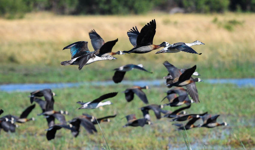 Pygmy geese in flight