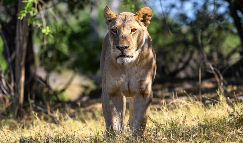 An imposing lioness from one of the local prides