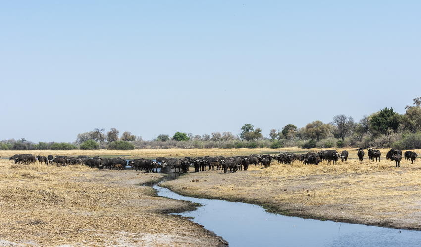 A huge herd of buffalo along at the Savute Channel