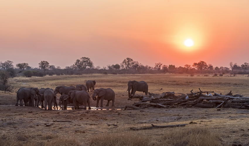 The Savute area harbours one of the densest dry-season concentrations of elephant in Africa