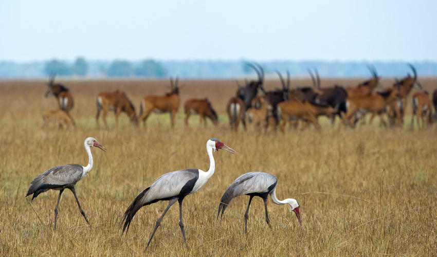 Wattled Cranes and Sable