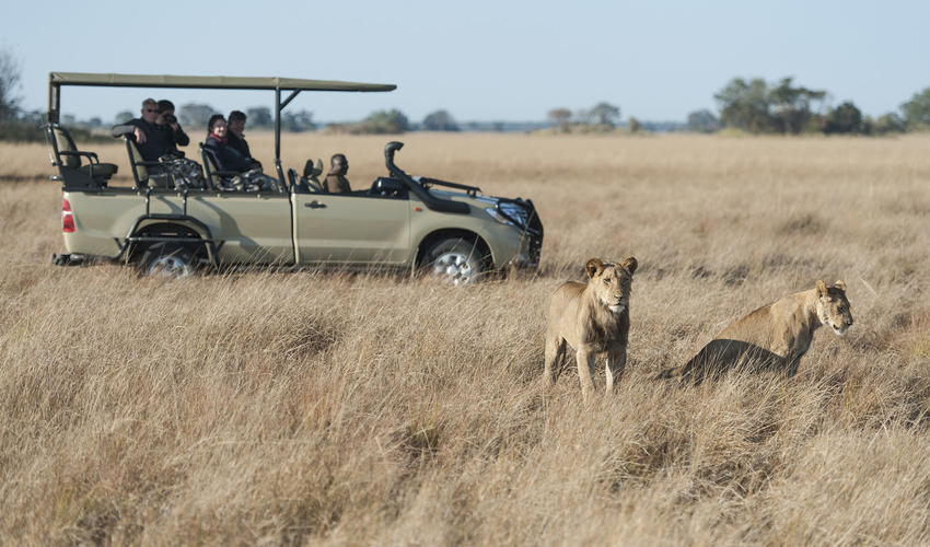 Lion game drive sighting
